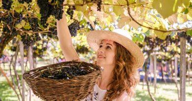 mulher colhendo uva